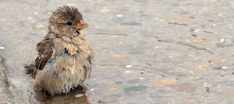 puddle-animals-sparrow-269568.jpg